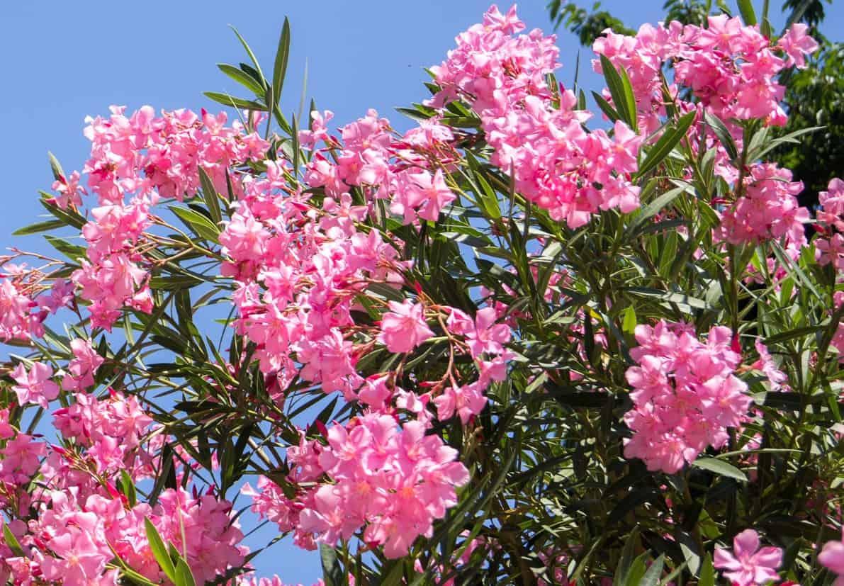 Oleander is a drought-tolerant plant that prefers warm climates.