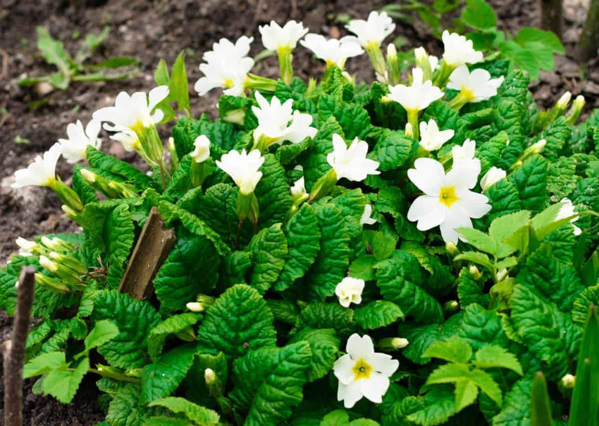 Grow low-maintenance oxalis in shady areas.