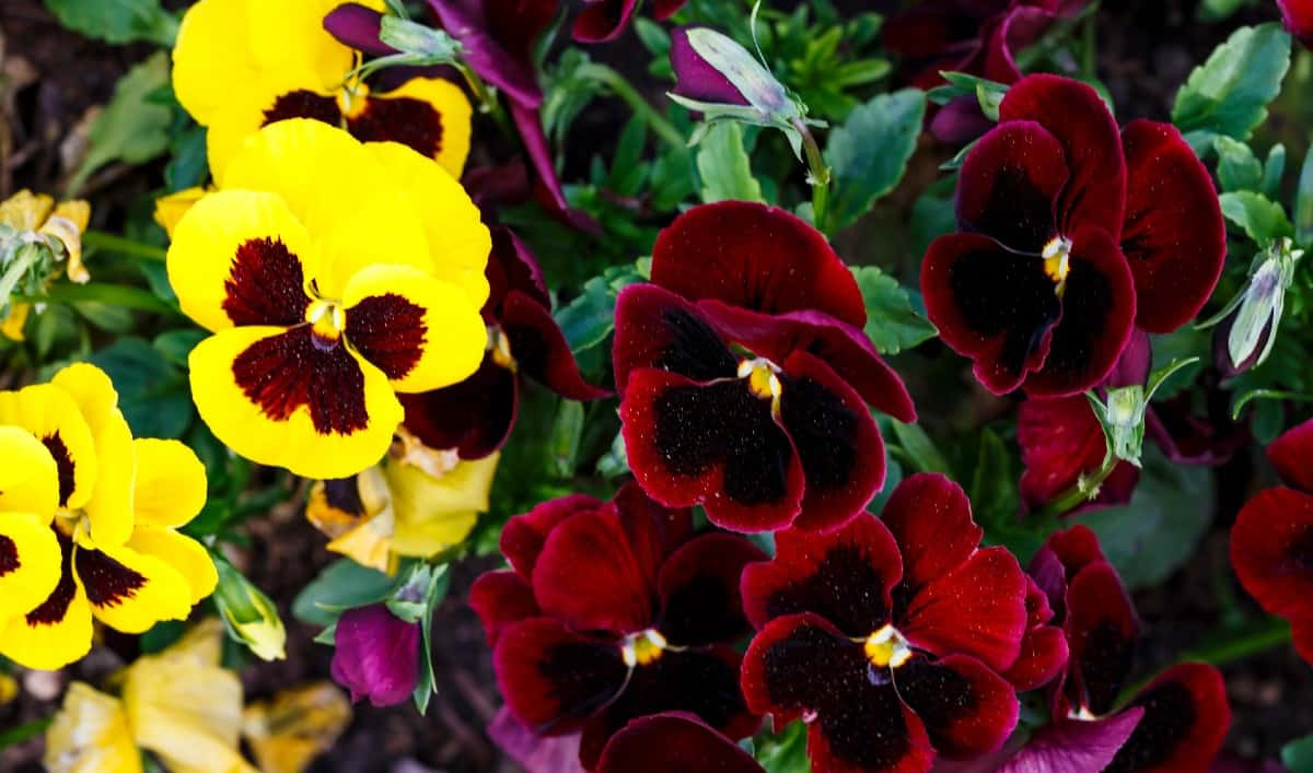 Pansies are low-growing flowers that flourish in cooler weather.