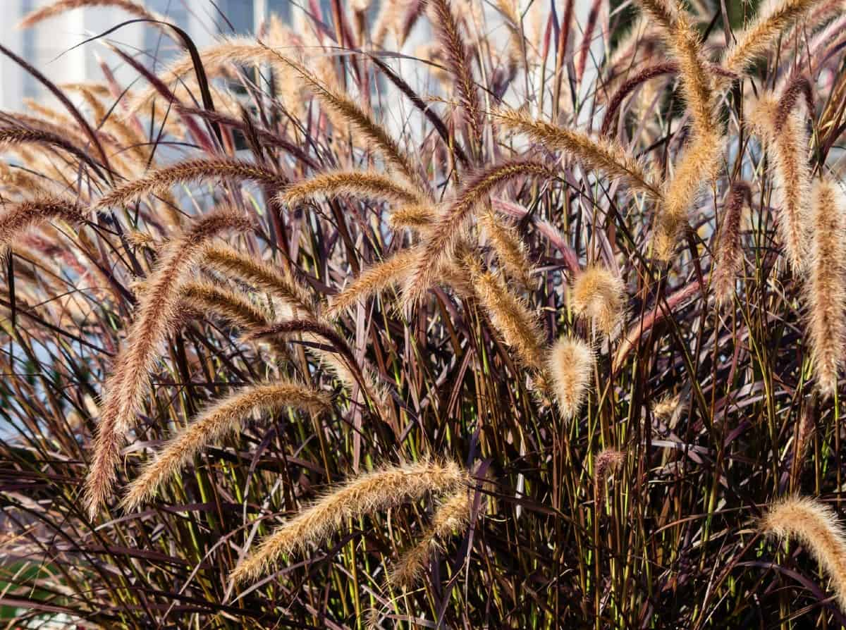 Purple fountain grass looks just as amazing in a pot as it does in the ground.