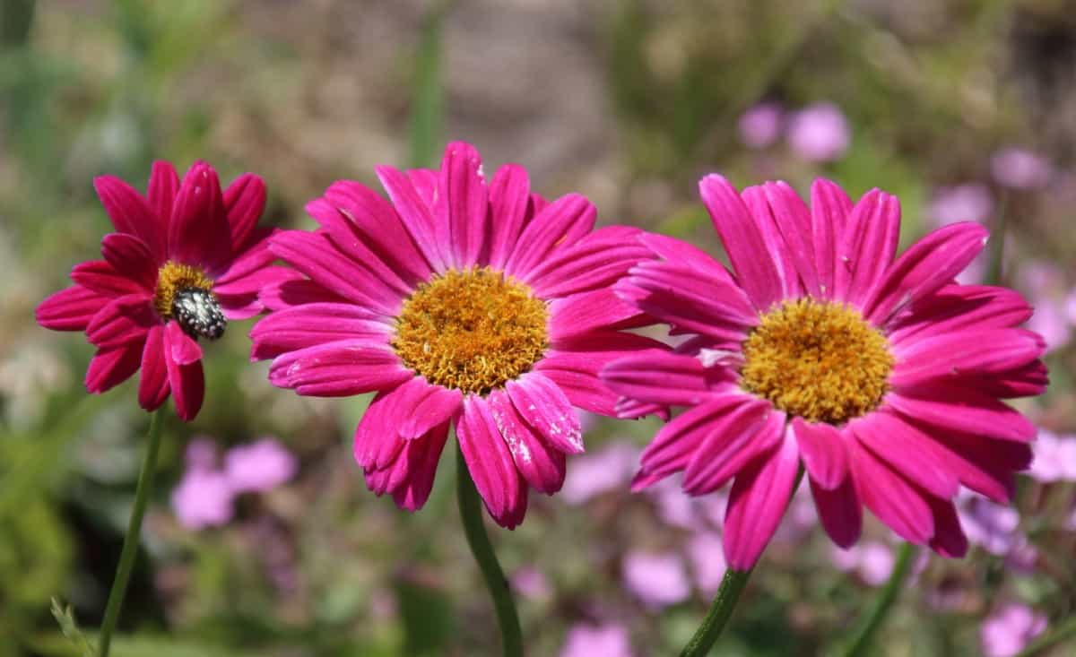 The pyrethrum daisy needs lots of sunlight to thrive.