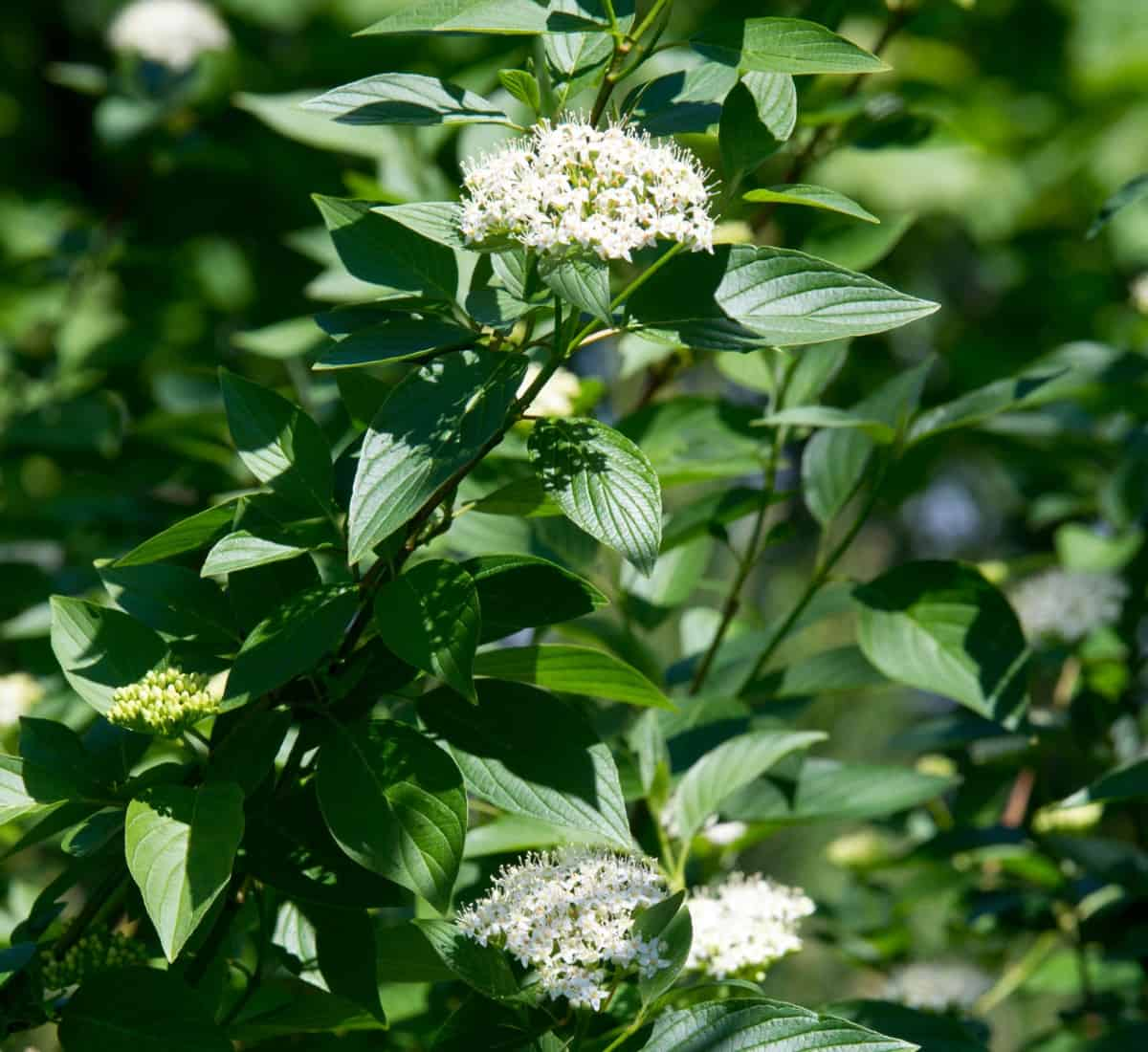 Enjoy the flowers, berries, foliage, and branches of the red twig dogwood in each season.