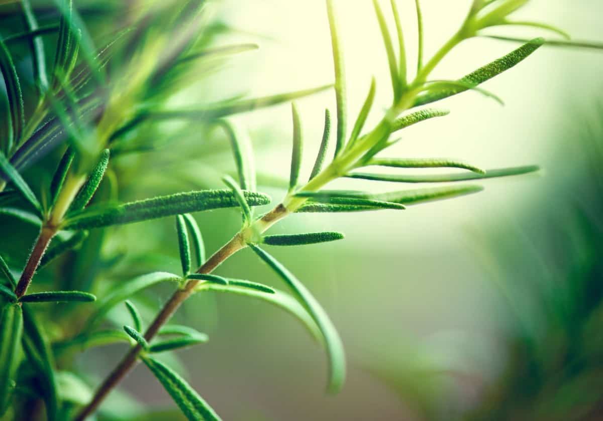 Rosemary repels all kinds of insects, including mosquitoes.