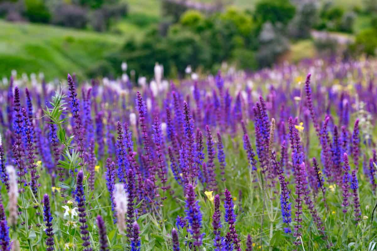 Salvia is a perennial that grows well in gardens or containers.