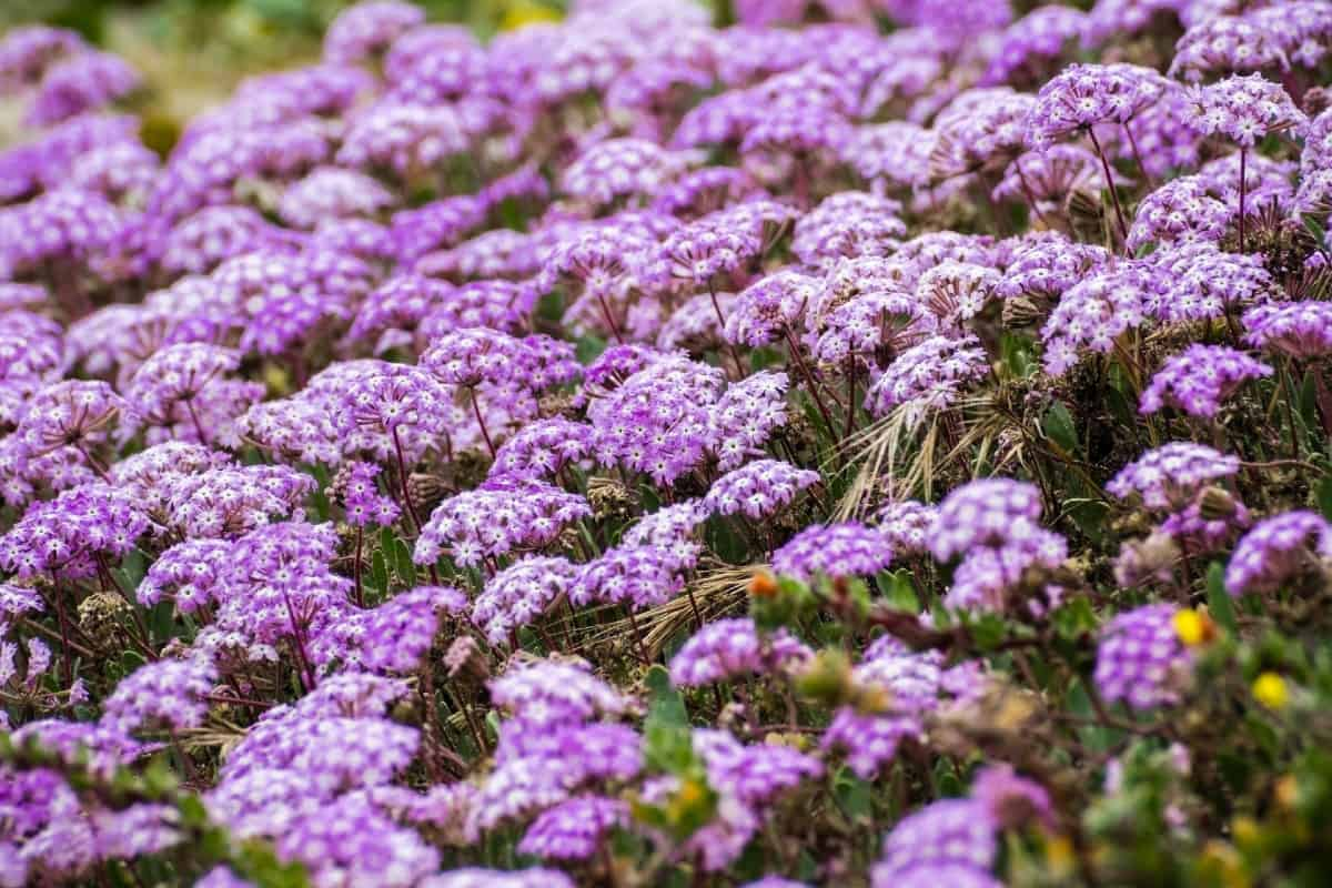 The sand verbena thrives in sandy soil and is perfect for a seaside garden.