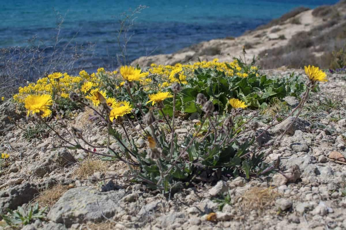 The sea aster has daisy-like blooms.
