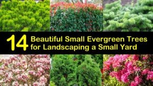 Small Evergreen Trees for Landscaping titleimg1