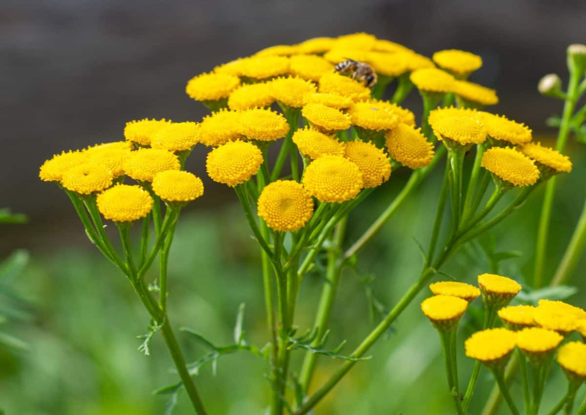 Yarrow is a popular, drought-tolerant garden perennial.