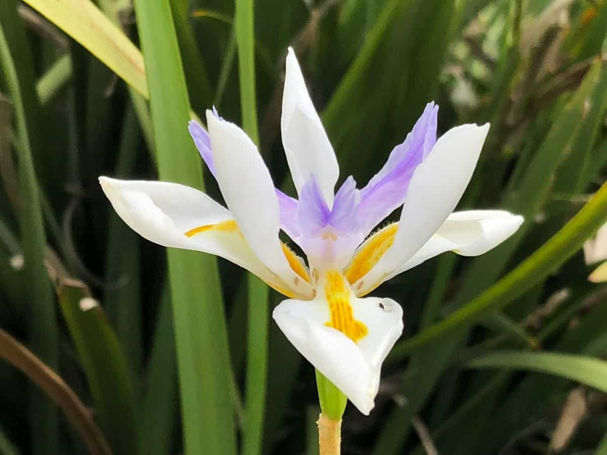 The African iris is a long-blooming tropical perennial.
