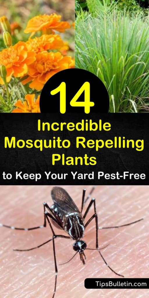 Come see how to keep mosquitoes away using essential oils from plants as a natural insect repellent. Say goodbye to DEET and other toxic chemicals by using marigolds, catnip, and geraniums as mosquito repelling plants. #mosquito #repelling #plants #mosquitoes #repelmosquitoes
