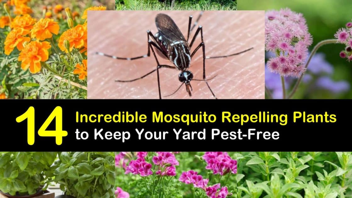 14 Incredible Mosquito Repelling Plants to Keep Your Yard ...