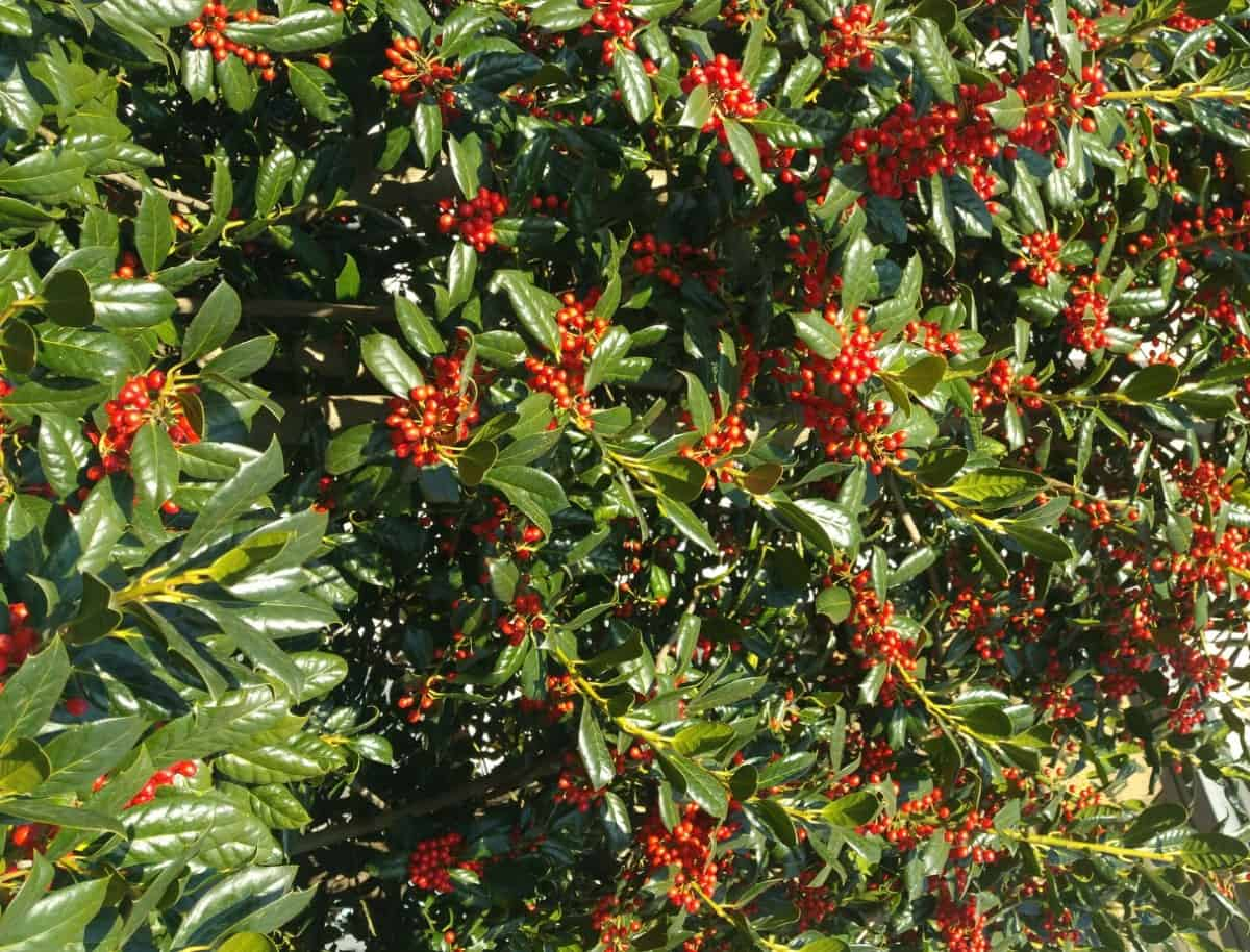 The American holly bush offers year-round interest.