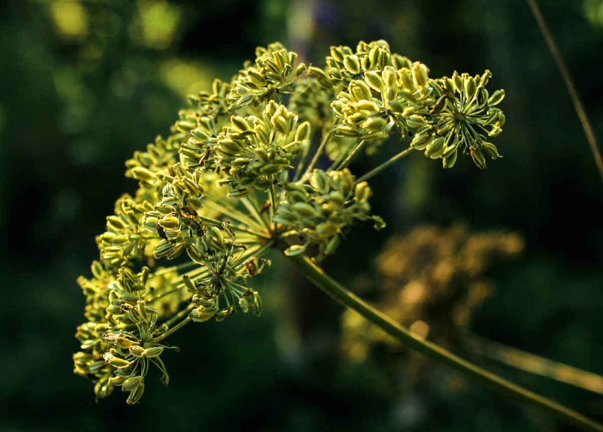 Anise is a summer herb that repels insects.
