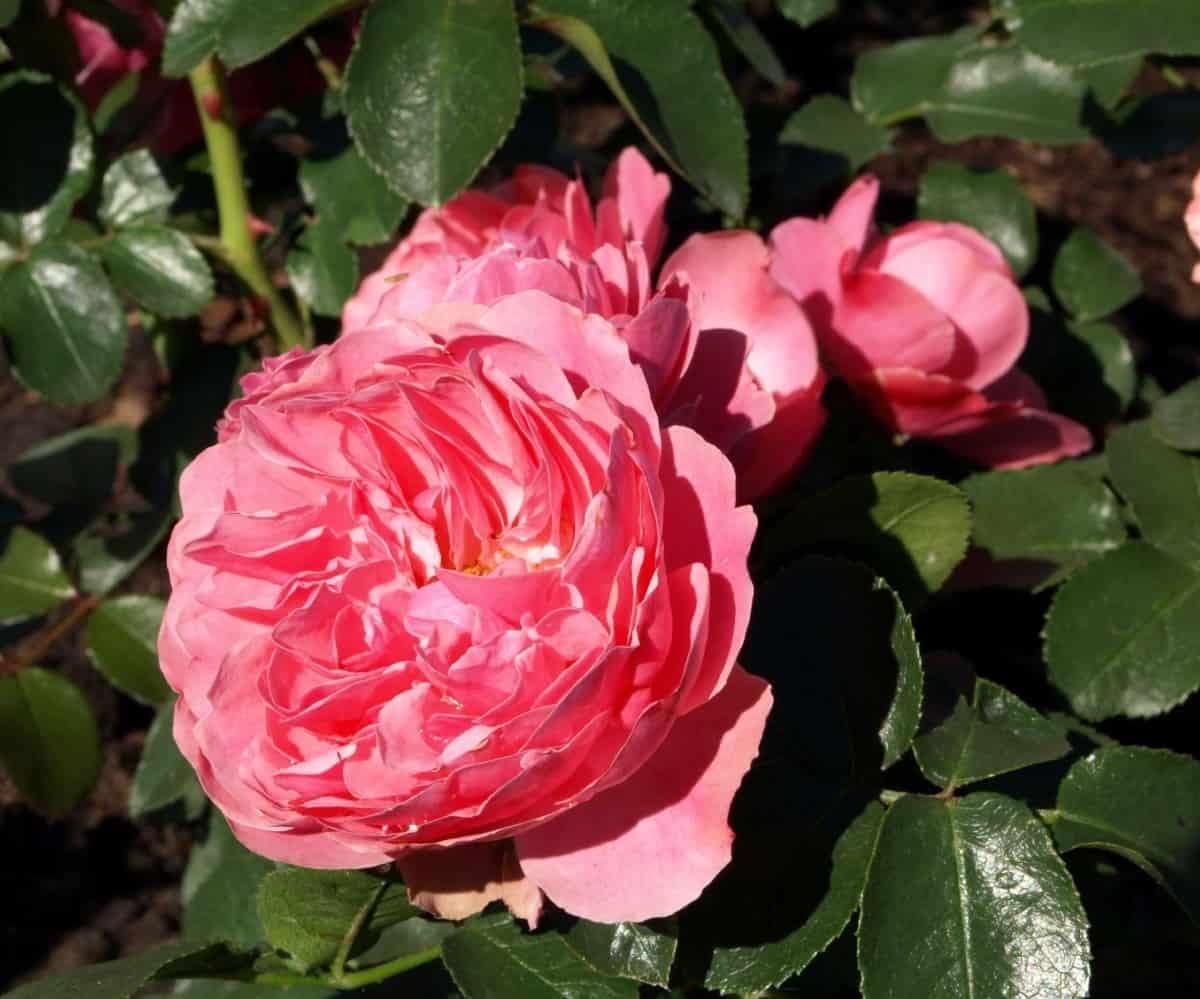Anne Boleyn is an English shrub rose with pink flowers.