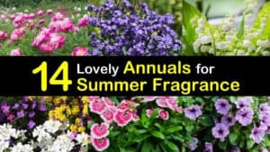 Annuals for Summer Fragrance titleimg1