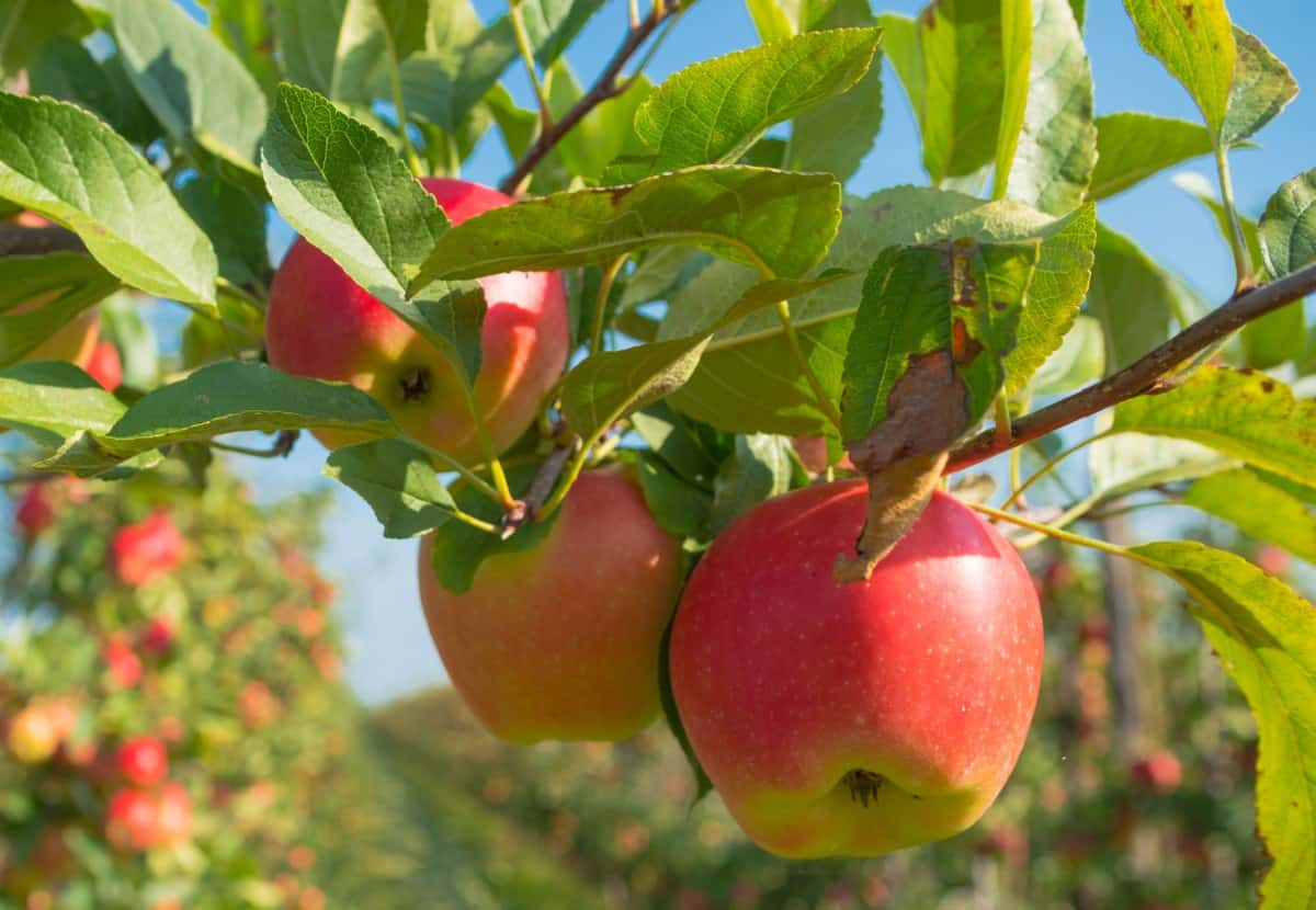 Apple trees are the most common fruit trees grown at home.