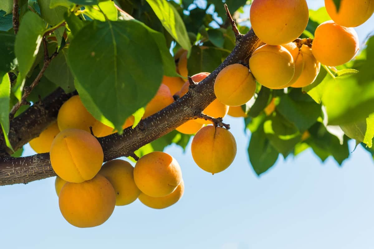 Apricot is an easy to grow fruit tree particularly suited for the western U.S.