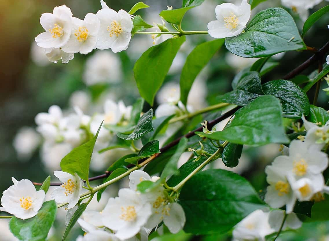 Asiatic jasmine is a pretty, low-growing evergreen.