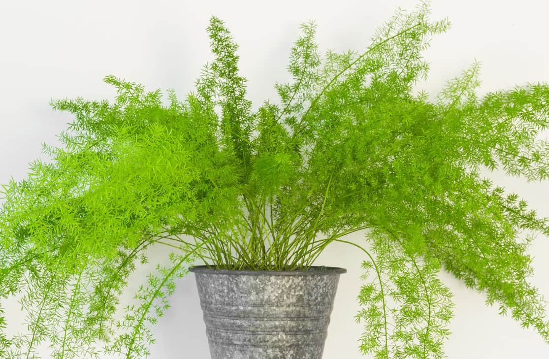 The asparagus fern is not actually a fern but does look like one.
