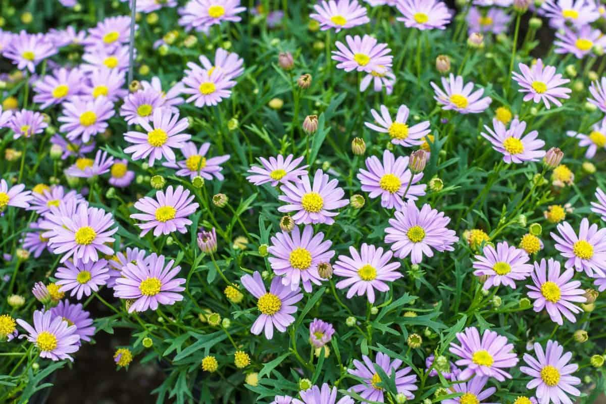 Aster is a favorite perennial of butterflies.