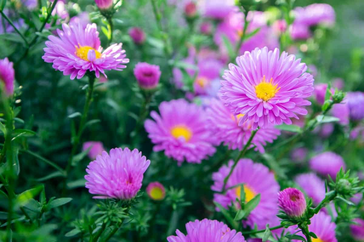Asters come in several bright colors.