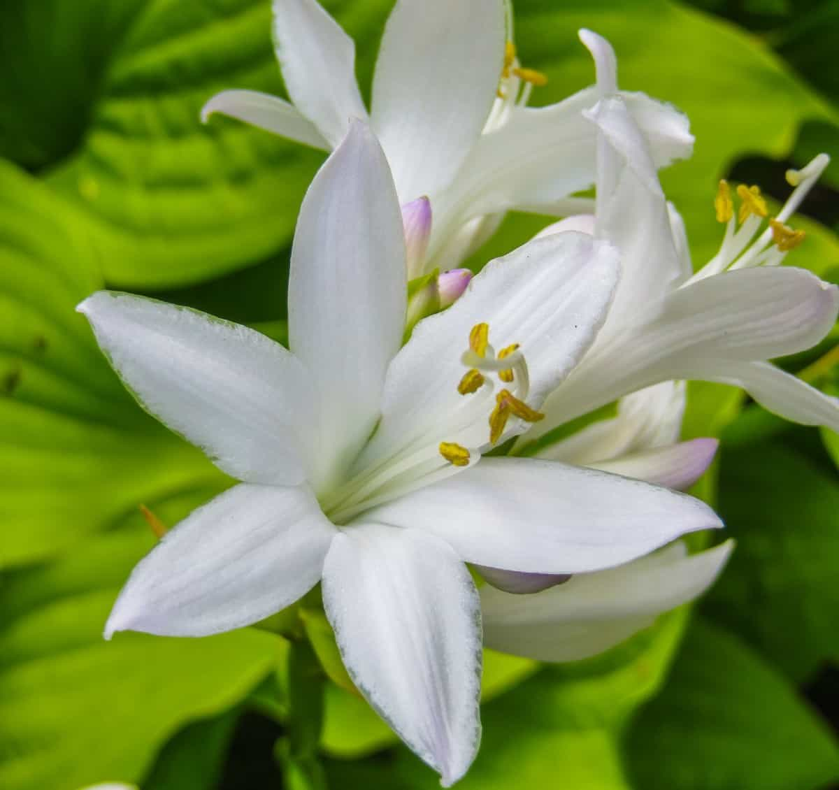 The August lily is a type of hosta or plantain lily.
