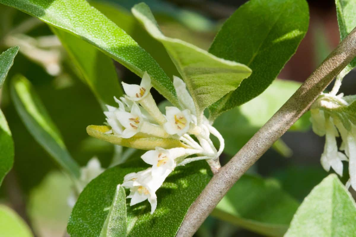 Autumn olive thrives in poor soil conditions.