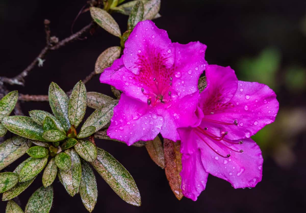 Most azaleas prefer at least partial shade conditions.