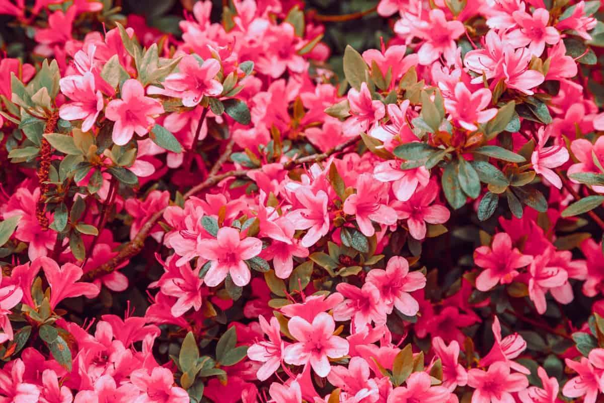 Azaleas are shrubs that prefer partial shade.