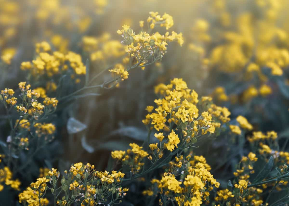 Basket of gold is also known as yellow alyssum.