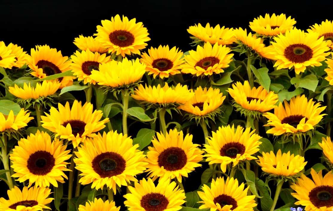 Beach sunflowers can handle sandy soil.