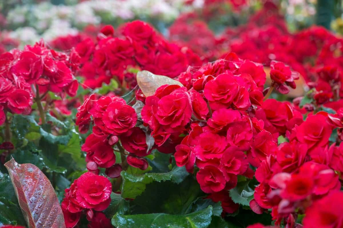 Begonias are easy-to-grow heat-loving annuals.
