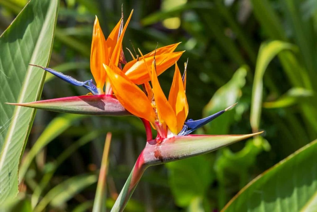 The bird of paradise is a striking flower.