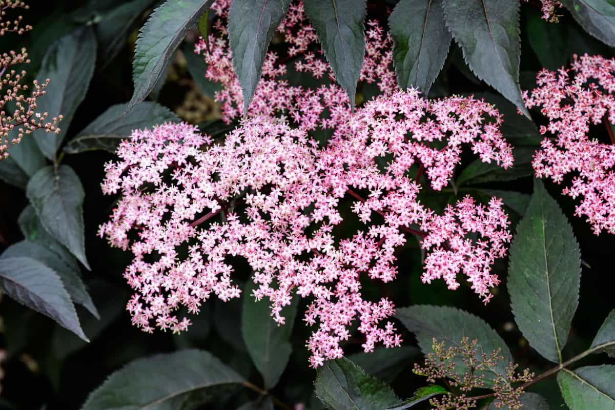 Both birds and people love the fruits of the black beauty elderberry shrub.