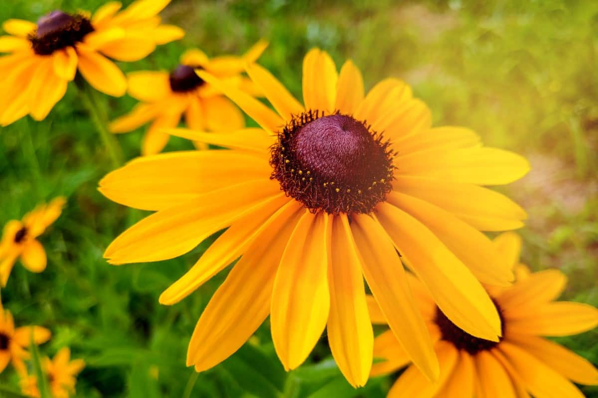 Black-eyed Susans attract all kinds of butterflies.