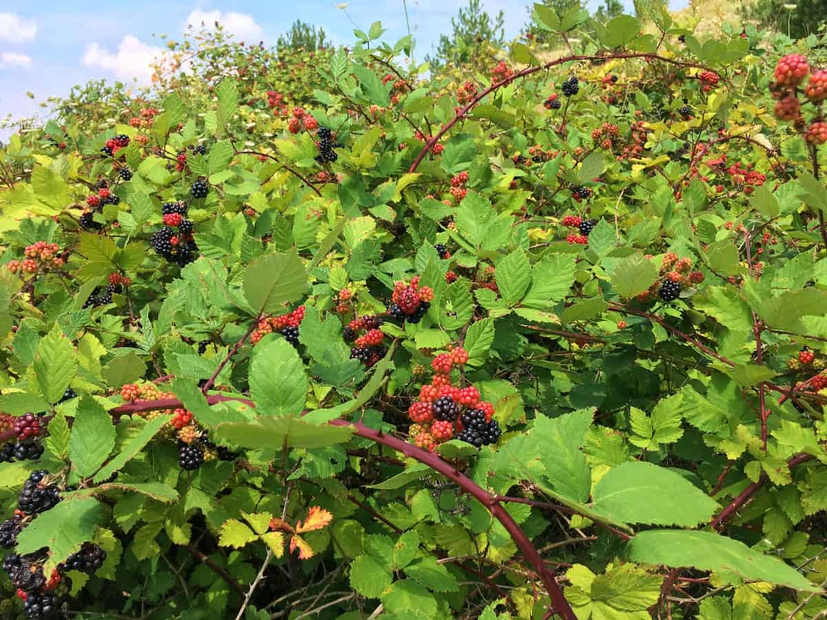 Blackberry bushes have delicious fruit in late summer if the birds don't get to the berries first.