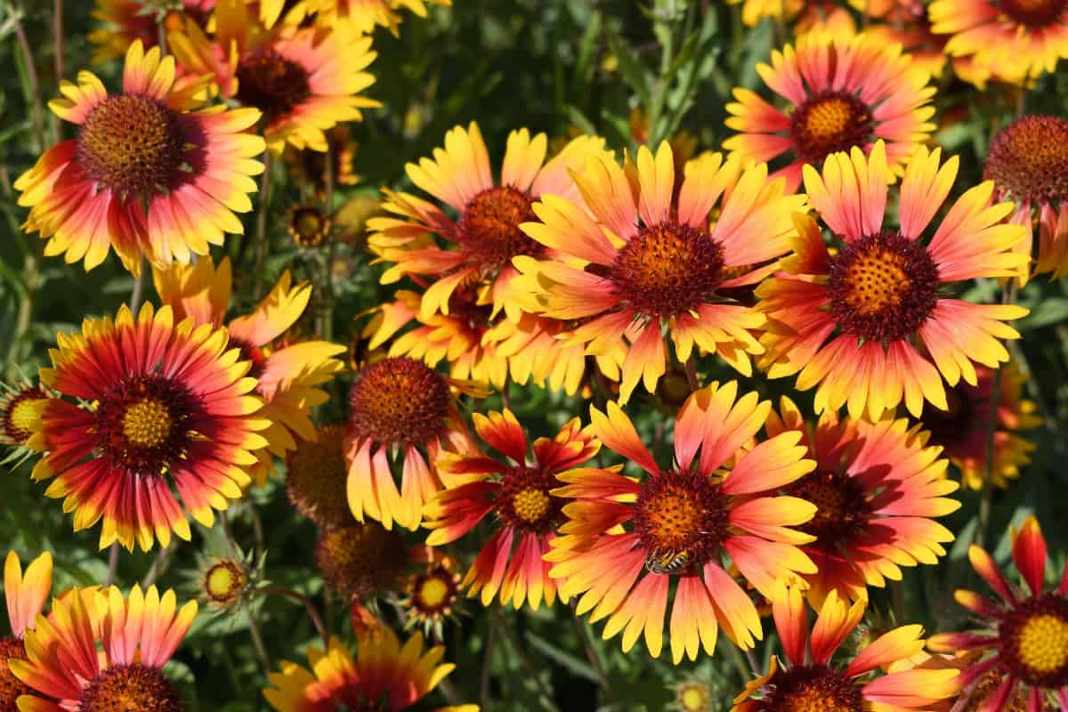 Blanket flowers attract all sorts of butterflies.