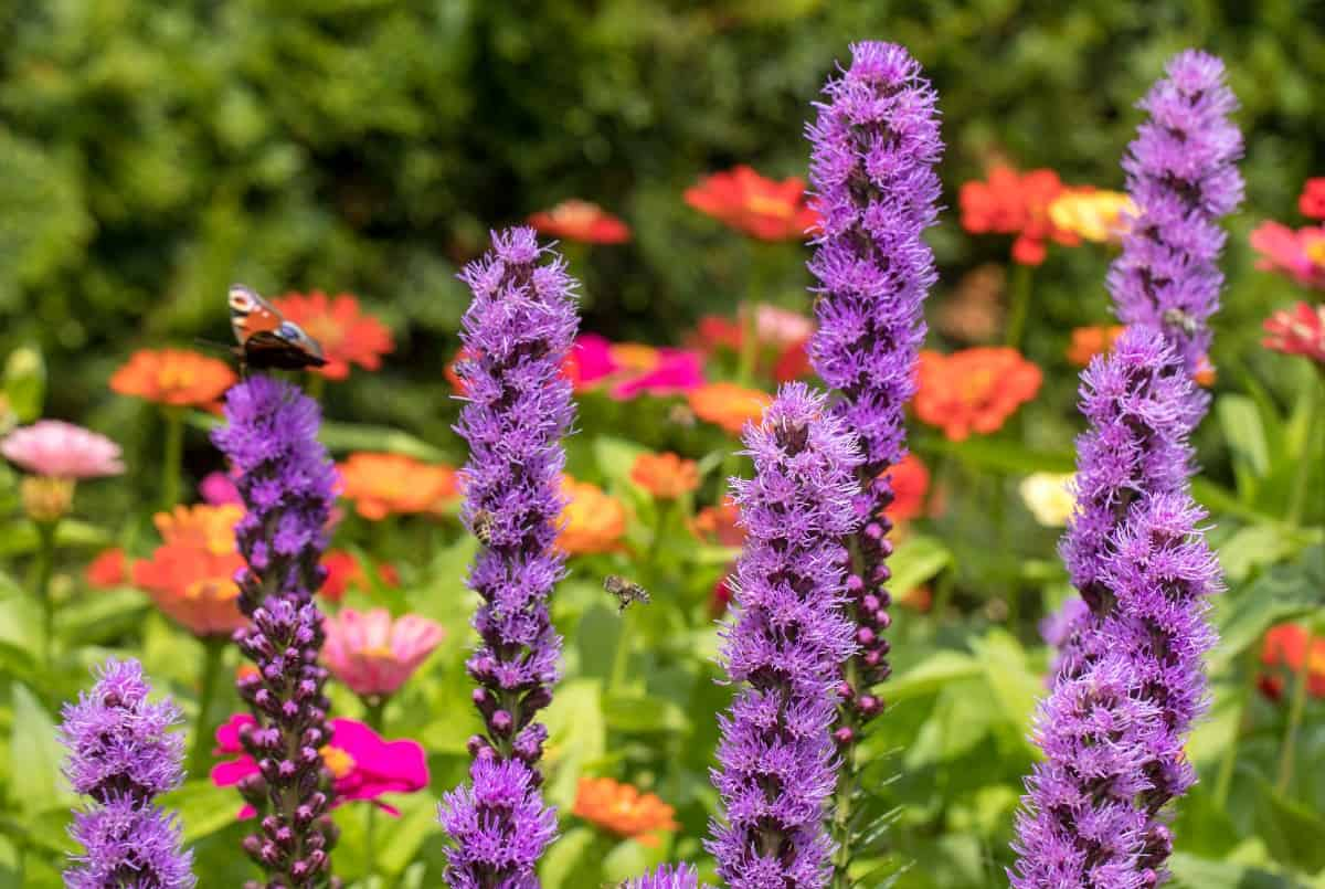 Blazing star grows in almost any soil conditions.