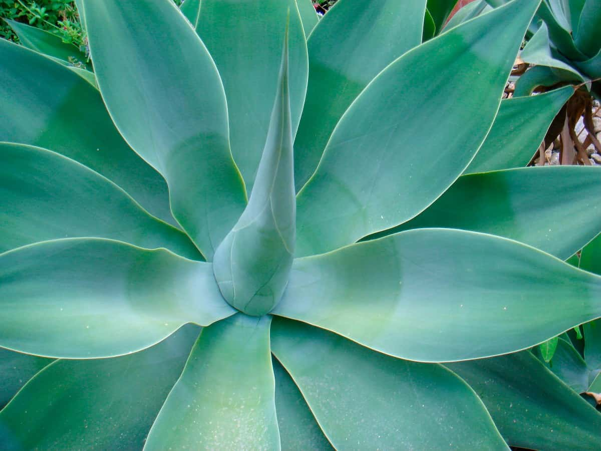 Blue glow agave is a beautiful succulent with an unusual color.