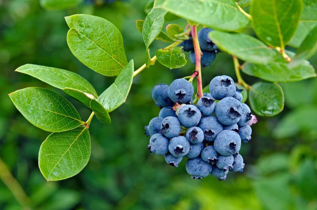 Blueberry bushes attract pollinators like crazy.