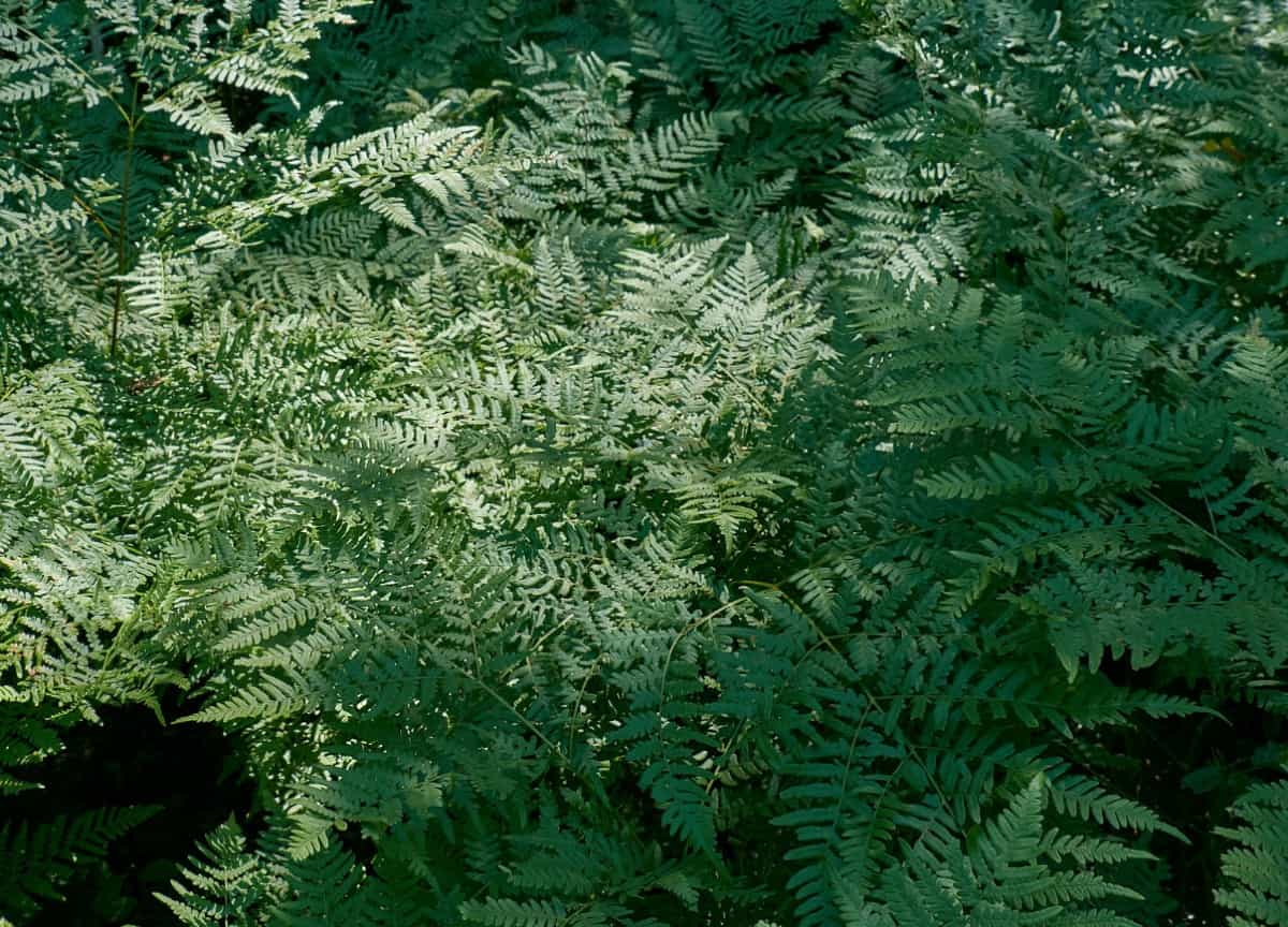 For a tall plant that enjoys sunny locations, try the bracken fern.