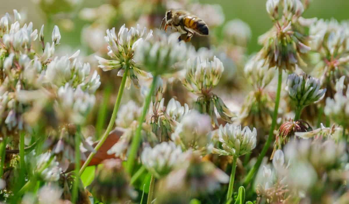 Bronze Dutch clover comes in a variety of colors.