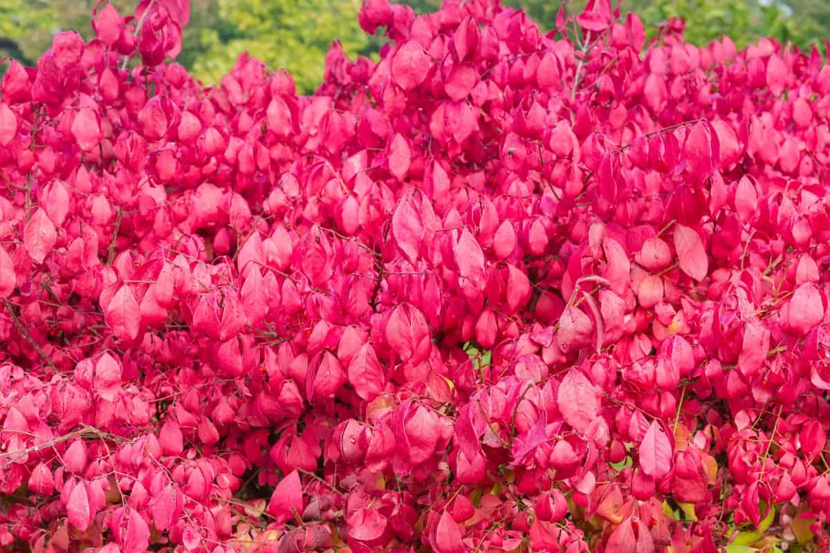 The burning bush drops hundreds of seeds daily, making it difficult to keep under control.