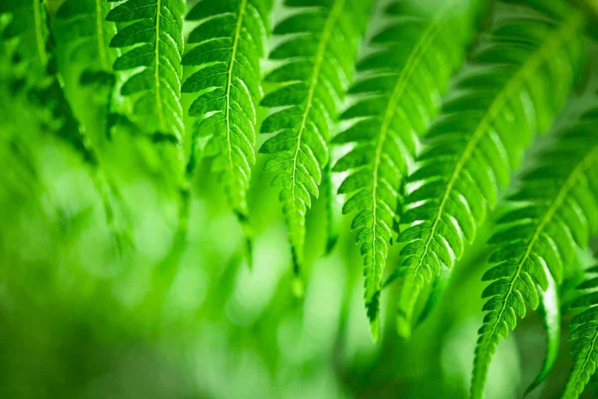 The bushman's mattress fern reproduces quickly.