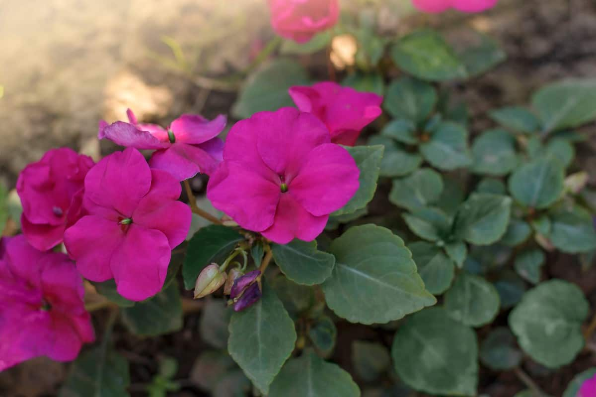 The seeds of the busy Lizzie impatiens burst open when ripe.
