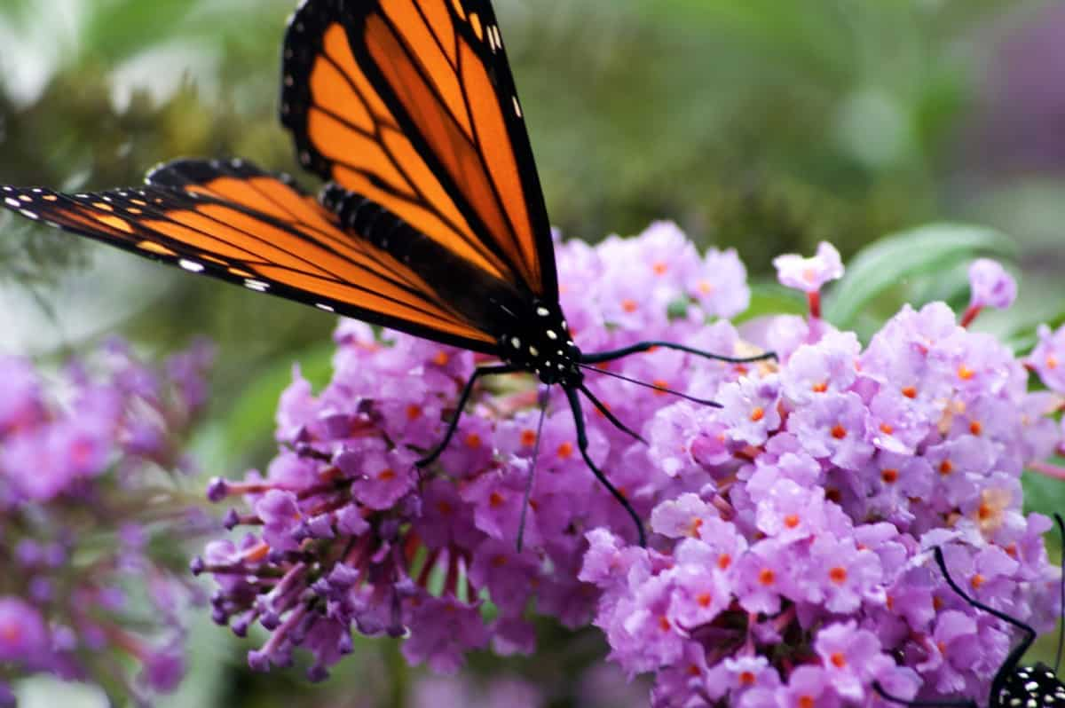 The butterfly bush has attractive flower spikes.