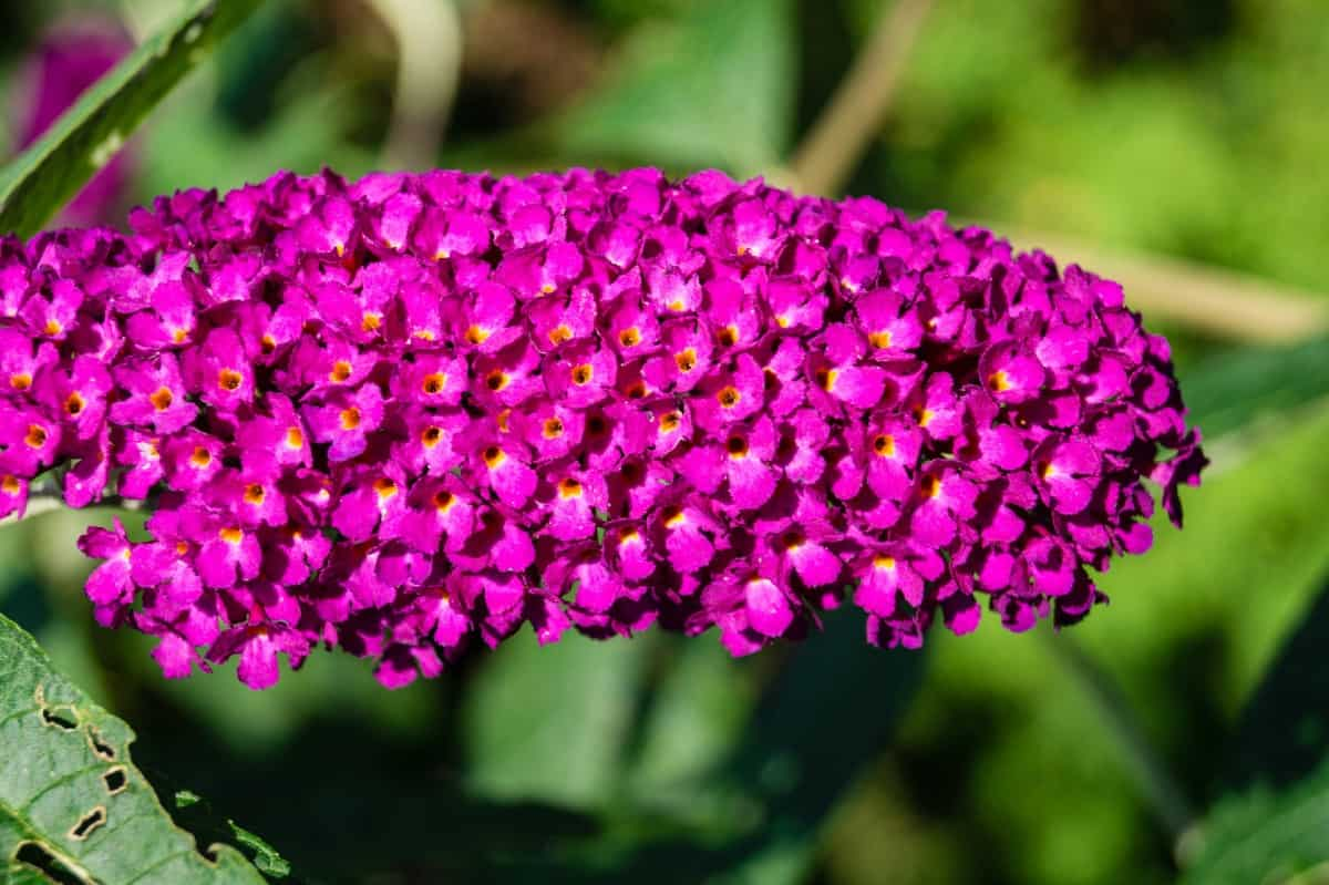 The butterfly bush is a long-blooming shrub with fragrant flowers.