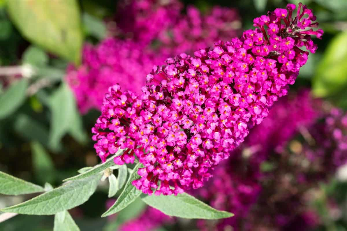 The butterfly bush attracts a variety of pollinators, including hummingbirds.
