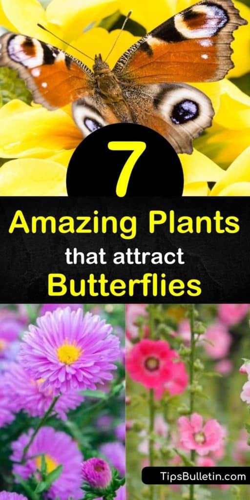Discover the beauty of a butterfly garden by planting butterfly host plants and nectar flowers such as aster and fennel, and attract swallowtail, fritillary, painted lady, red spotted purple, and hairstreak butterflies to the yard. #butterflyhostplants #butterflygarden #butterflies