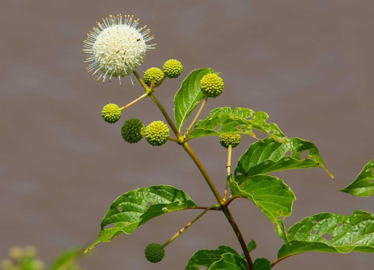 The buttonbush has unusual flowers.